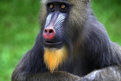 Portrait of a Mandril