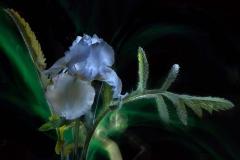 Blue Iris #2